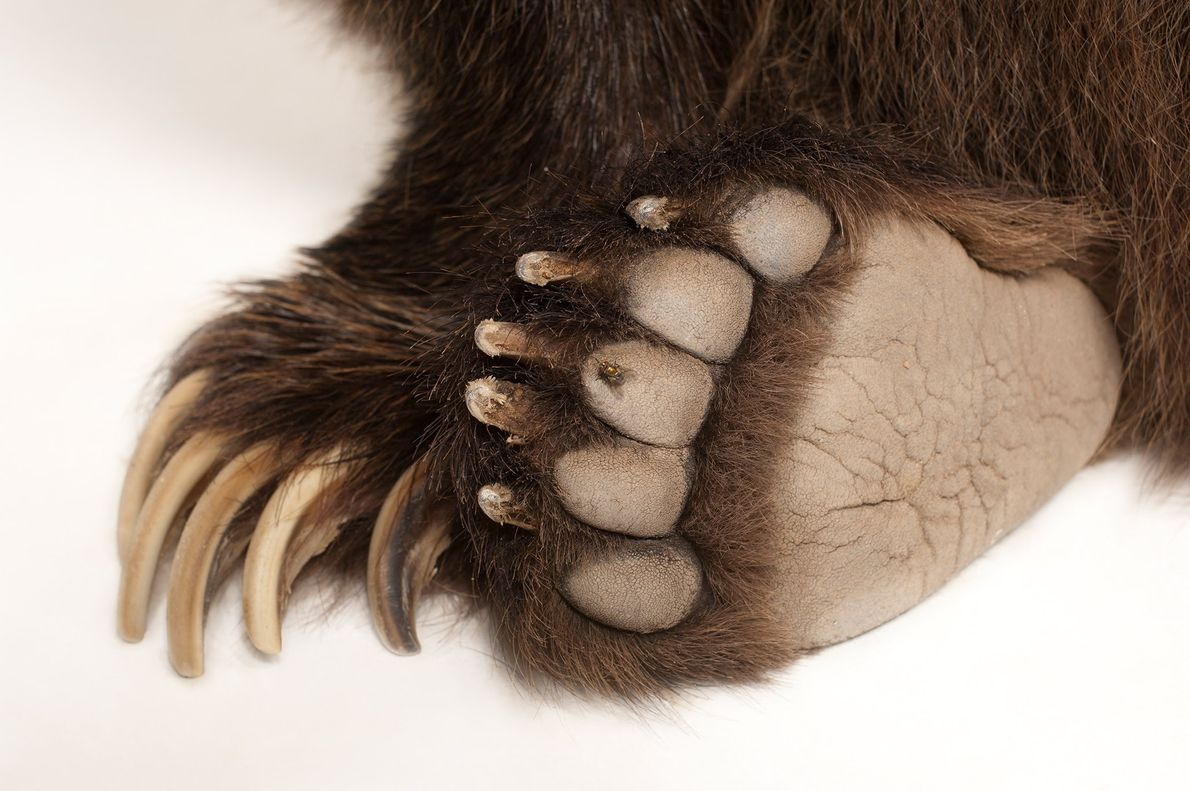 Grizzlies use their rounded claws to dig dens in the sides of hills once the weather ...