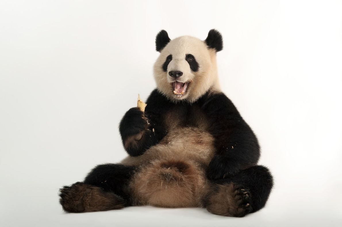 Giant pandas like Lun Lun like to eat bamboo, sometimes for as long as 12 hours ...