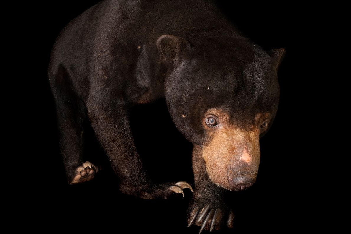 The Malayan sun bear, a subspecies of the sun bear, is found only on the island ...