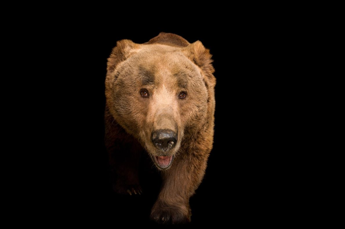 Himalayan brown bears are a subspecies of brown bear that live in Pakistan, India, Nepal, Tibet, ...