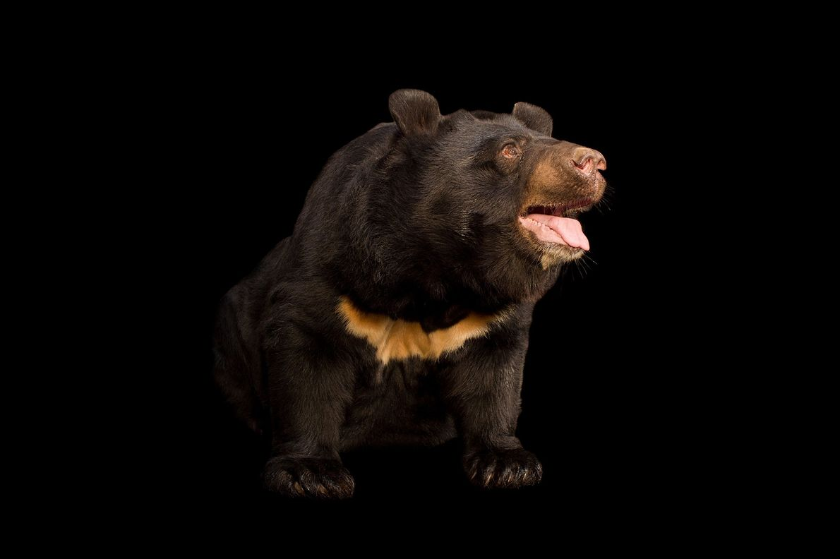 The Asiatic black bear is also called the moon bear and the white-chested bear. They are ...
