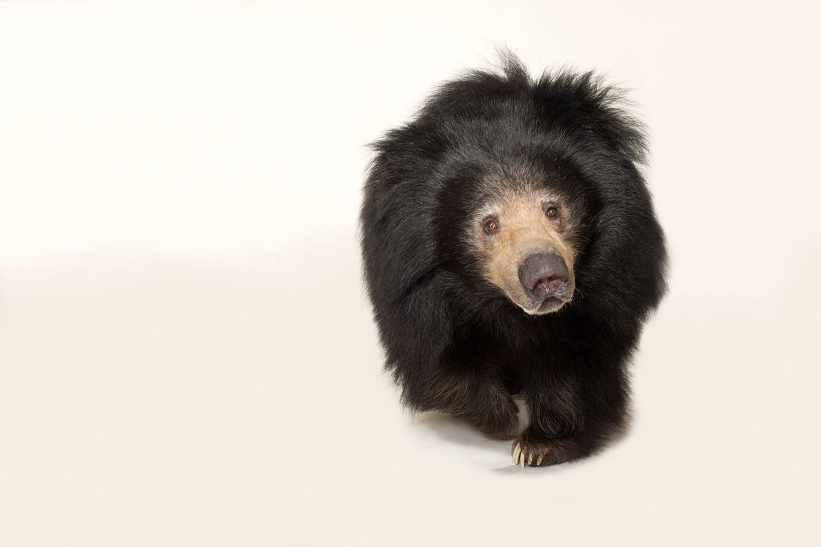Sloth bears feed mostly on termites and ants, digging them out of their mounds with sharp ...