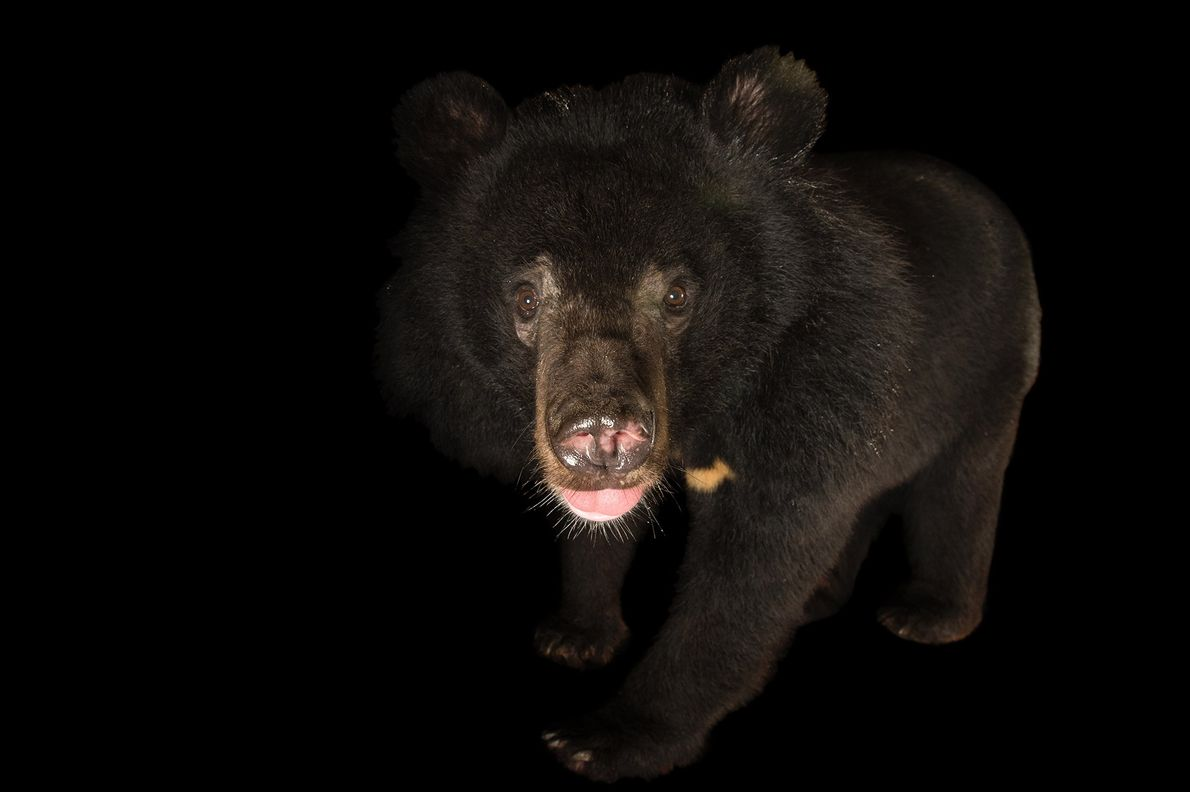 The Asiatic black bear is considered vulnerable to extinction. It is hunted for its gall bladder, ...
