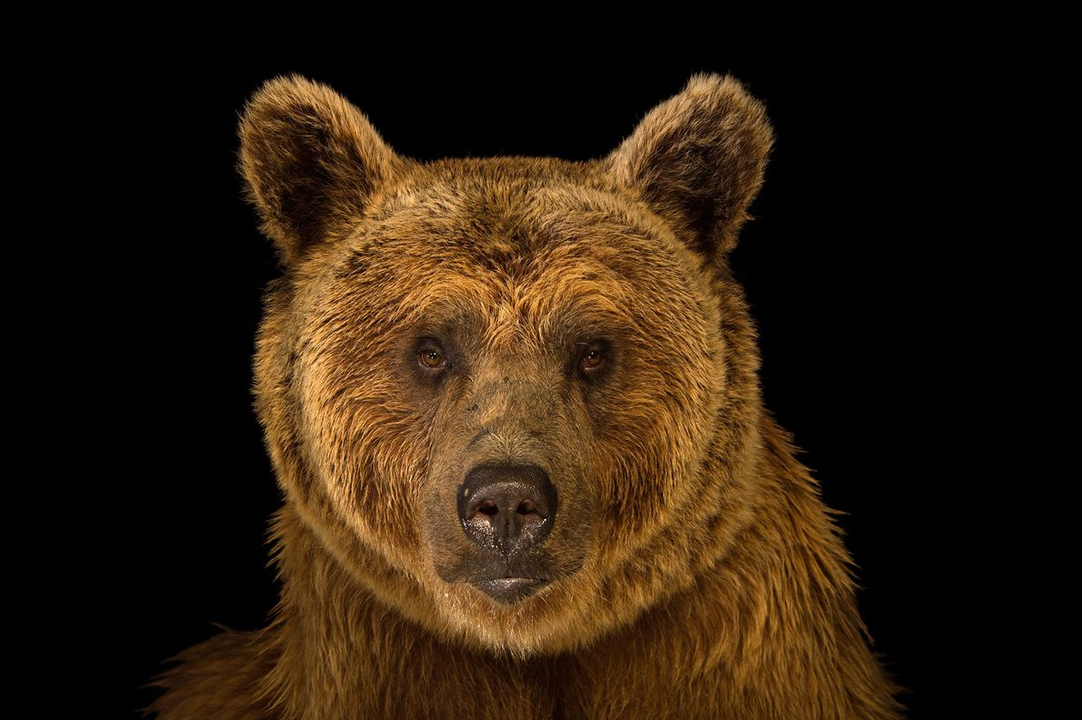 Syrian brown bears are the smallest of the brown bear subspecies, reaching about 550 pounds.