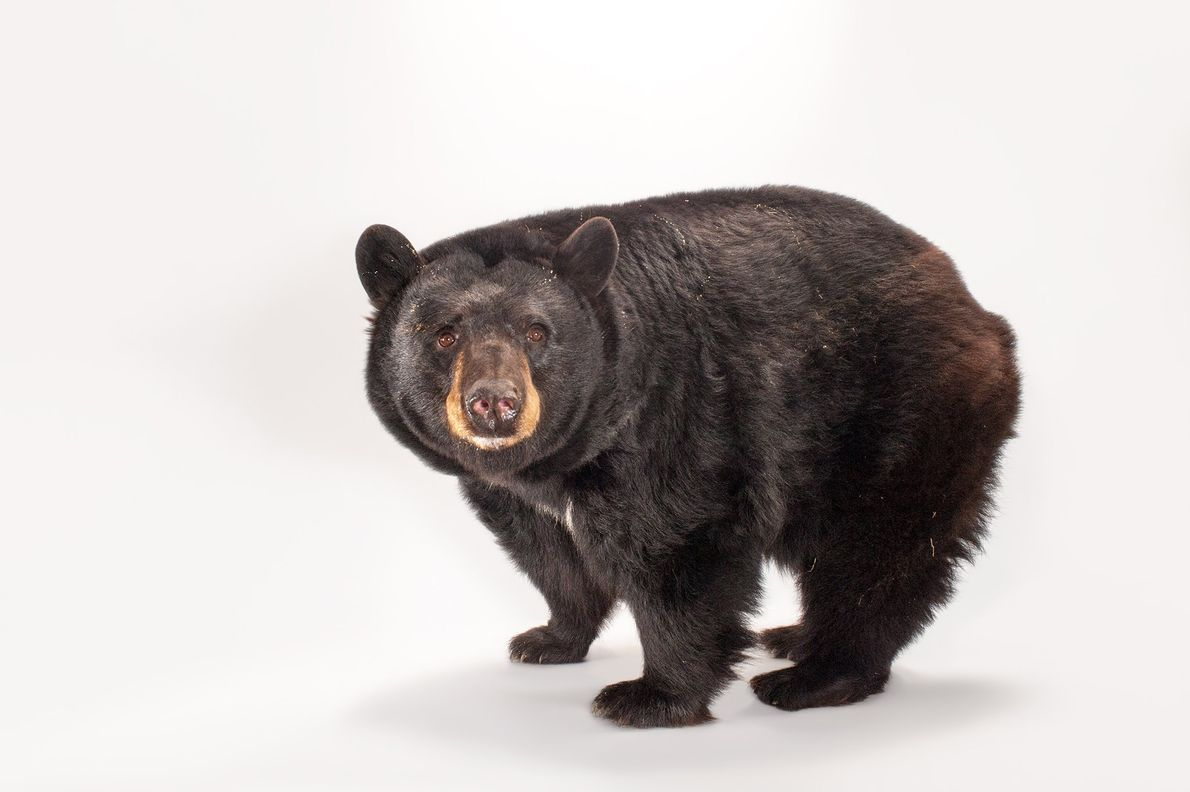 American black bears live in the forests of North America and are excellent tree climbers. They ...