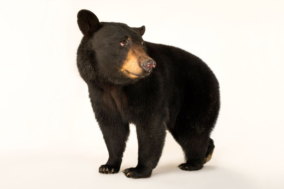 The Louisiana black bear is one of 16 subspecies of black bear.