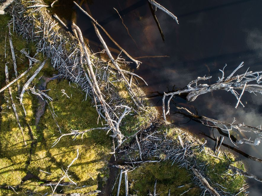 An aerial view of a beaver dam on the Lasifashaj River. Beaver dams in Patagonia are ...