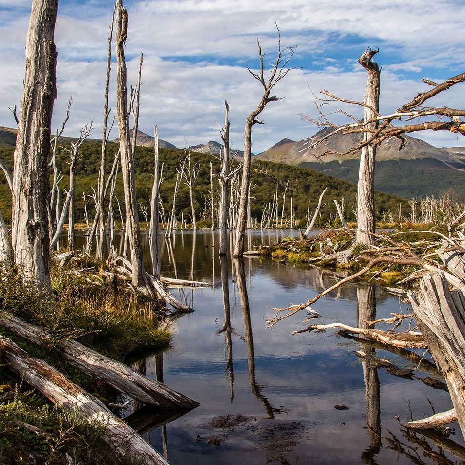 Argentina brought beavers to Tierra del Fuego. It was not a good idea.