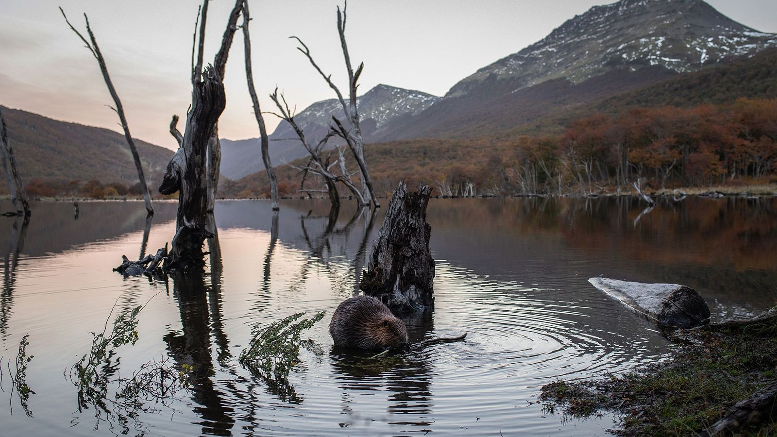 As the sun sets in Tierra del Fuego, a beaver munches on a tree branch next ...