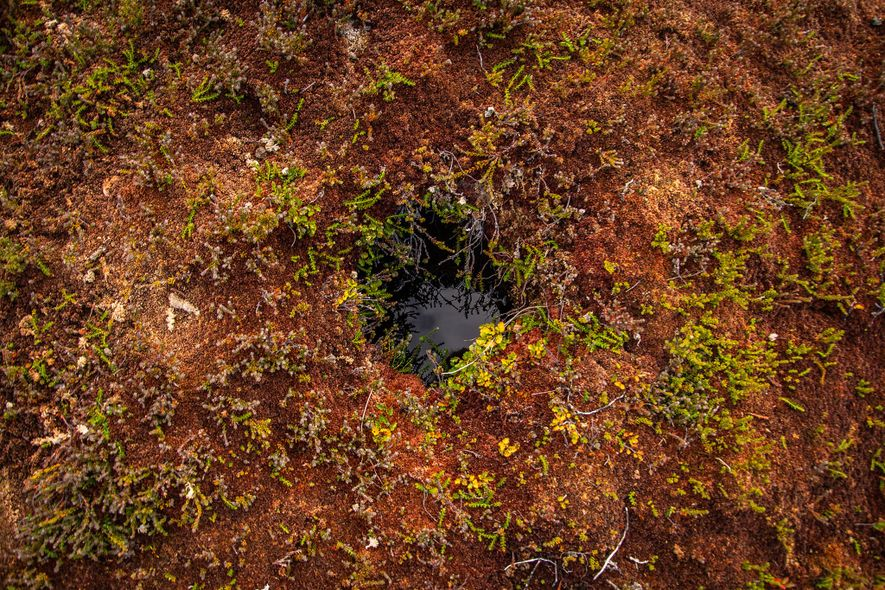 This beaver burrow is in an area of peatlands in Tierra del Fuego. Beavers create their ...