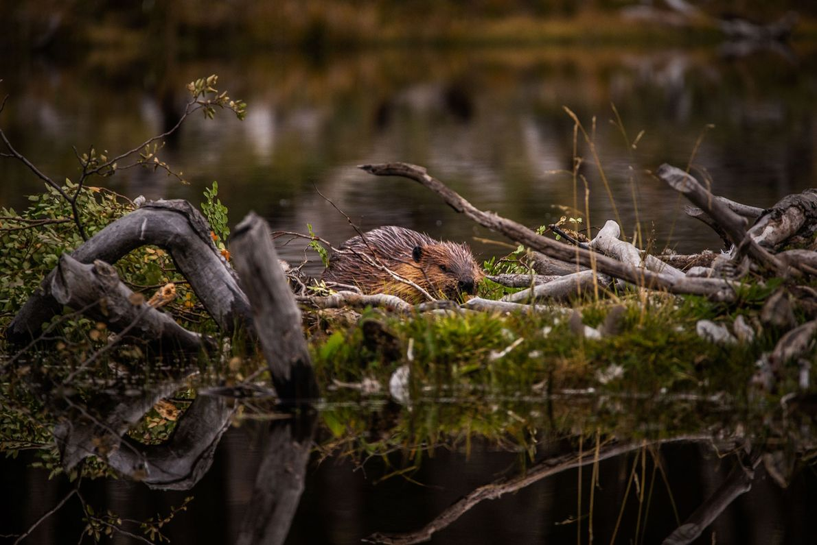 A beaver constructs a dam near Ushuaia, Tierra del Fuego's largest city. Beaver dams redirect rivers ...