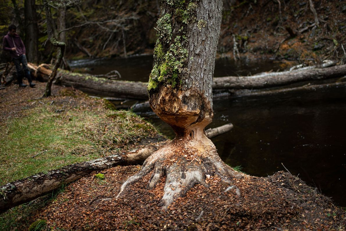 Beavers fell trees to feast on their leaves and create dwellings from their trunks and branches. ...