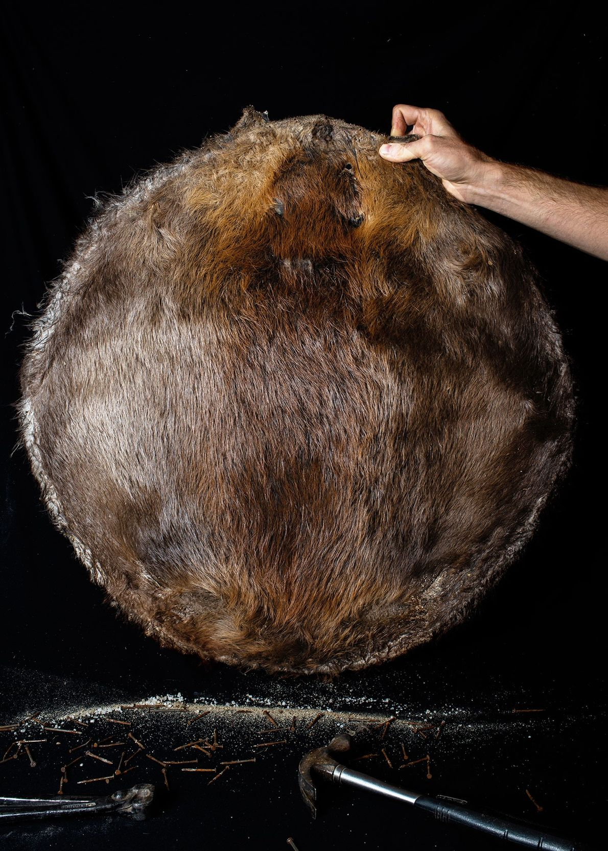 A local beaver hunter holds up a pelt that has been salted, dried, and nailed to ...
