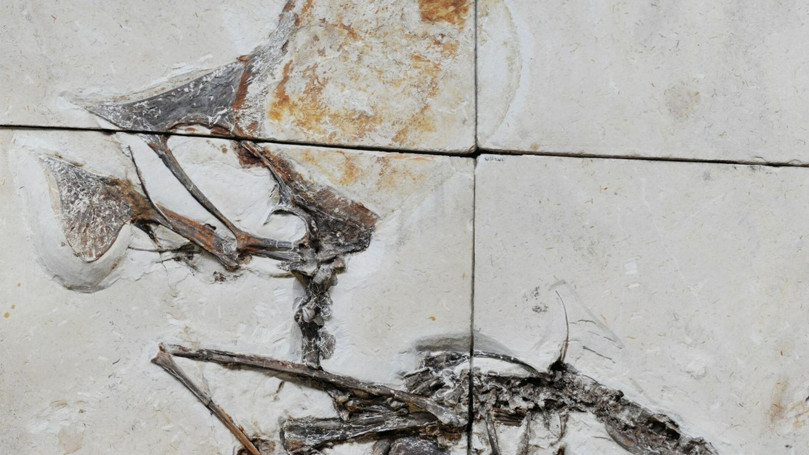 Entombed in limestone blocks, the newly studied fossil is the first nearly complete skeleton of a ...
