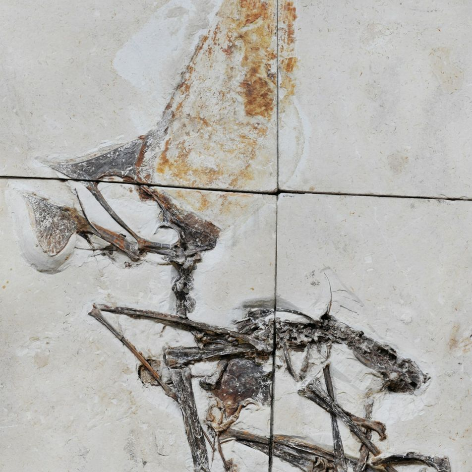 Stunning fossil seized in police raid reveals prehistoric flying reptile's secrets