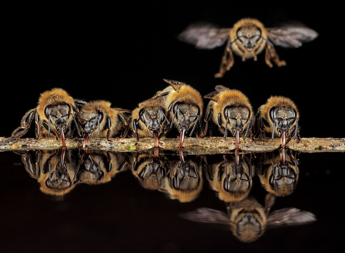 With tubular tongues, western honeybees in Langen, Germany, slurp up water to carry back to their ...