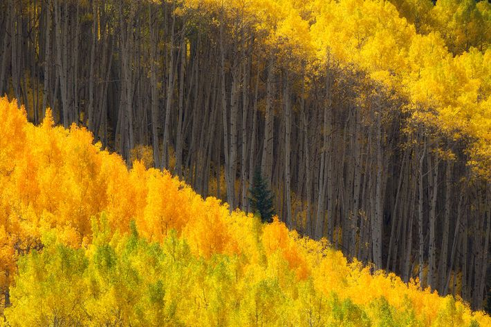 Aspens' autumnal hues light up the forest. Fall foliage in the Rocky Mountains usually peaks around ...