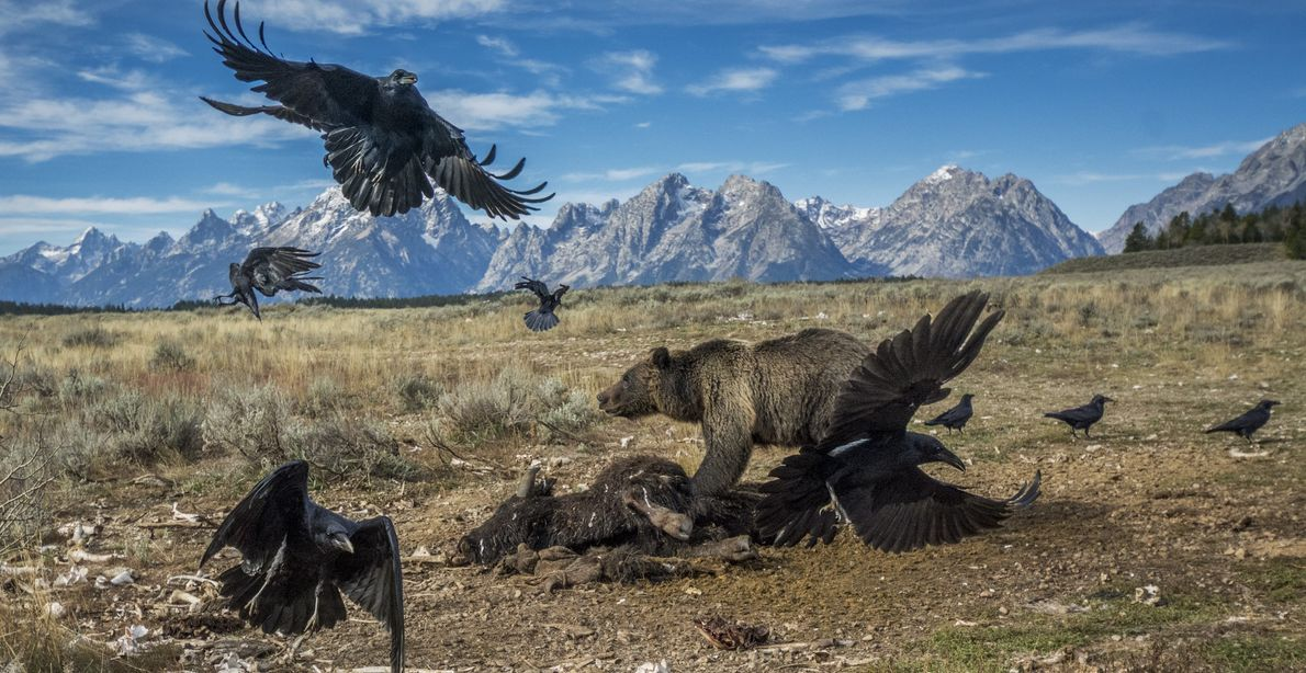 GRAND TETON NATIONAL PARK, Wyoming Sent to Wyoming on assignment in 2014, British photographer Charlie Hamilton James ...