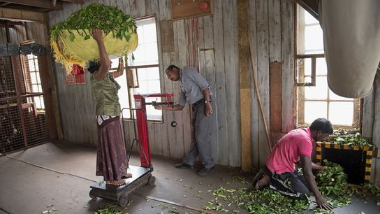 Inside Saint Clair's estate in Sri Lanka, workers weigh tea leaves.