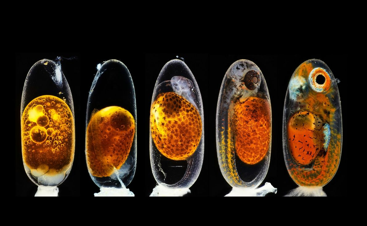 Photographer Daniel Knop stacked five images of a clownfish embryo to illustrate stages of its development, ...