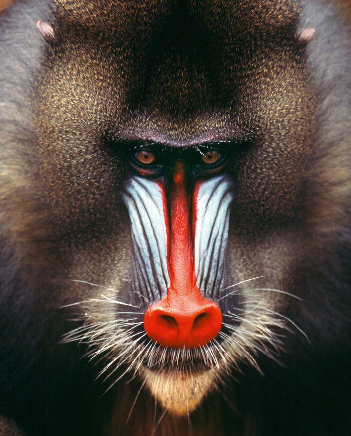 Mandrill baboon, Gabon.