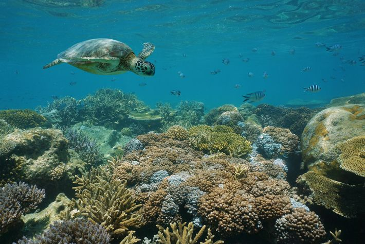 A green sea turtle swimming above a shallow coral reef, New Caledonia.
