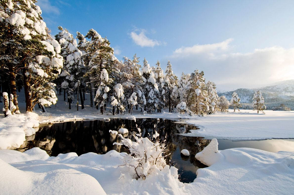 Loch an Eilean in the Rothiemurchus Forest. Filled with distinctive, red-barked and broccoli-branched Scots pine trees, ...