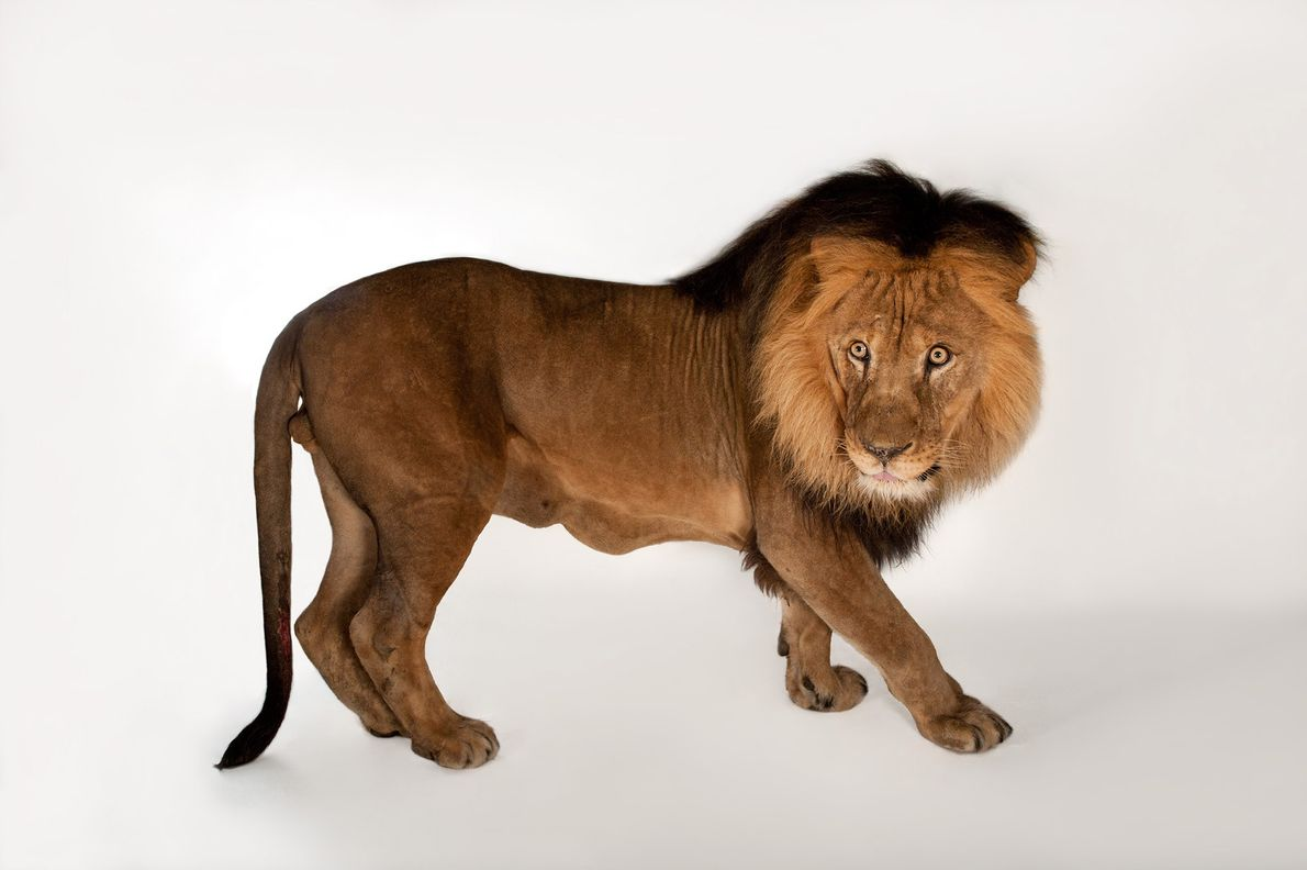 A male African lion, Panthera leo, poses for the camera. A lion's roar can be heard ...