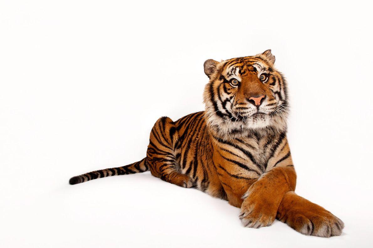 This Sumatran tiger, Panthera tigris sumatrae, is a member of a critically endangered species.