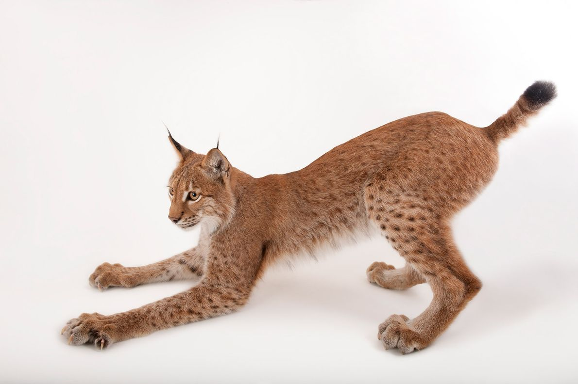 The Eurasian lynx, Lynx lynx, is one of Europe's largest predators.