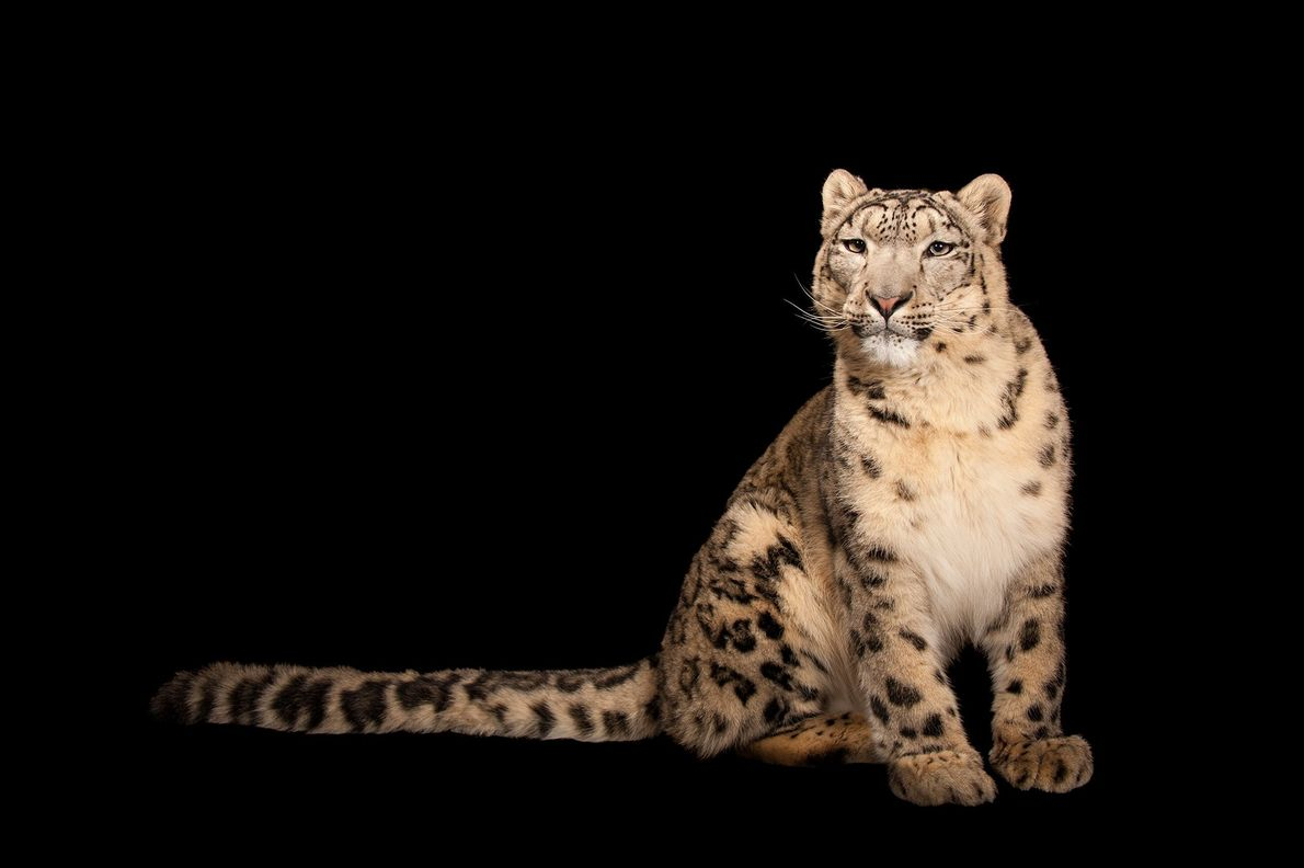 An endangered snow leopard, Panthera uncia, at the Miller Park Zoo in Bloomington, Illinois.
