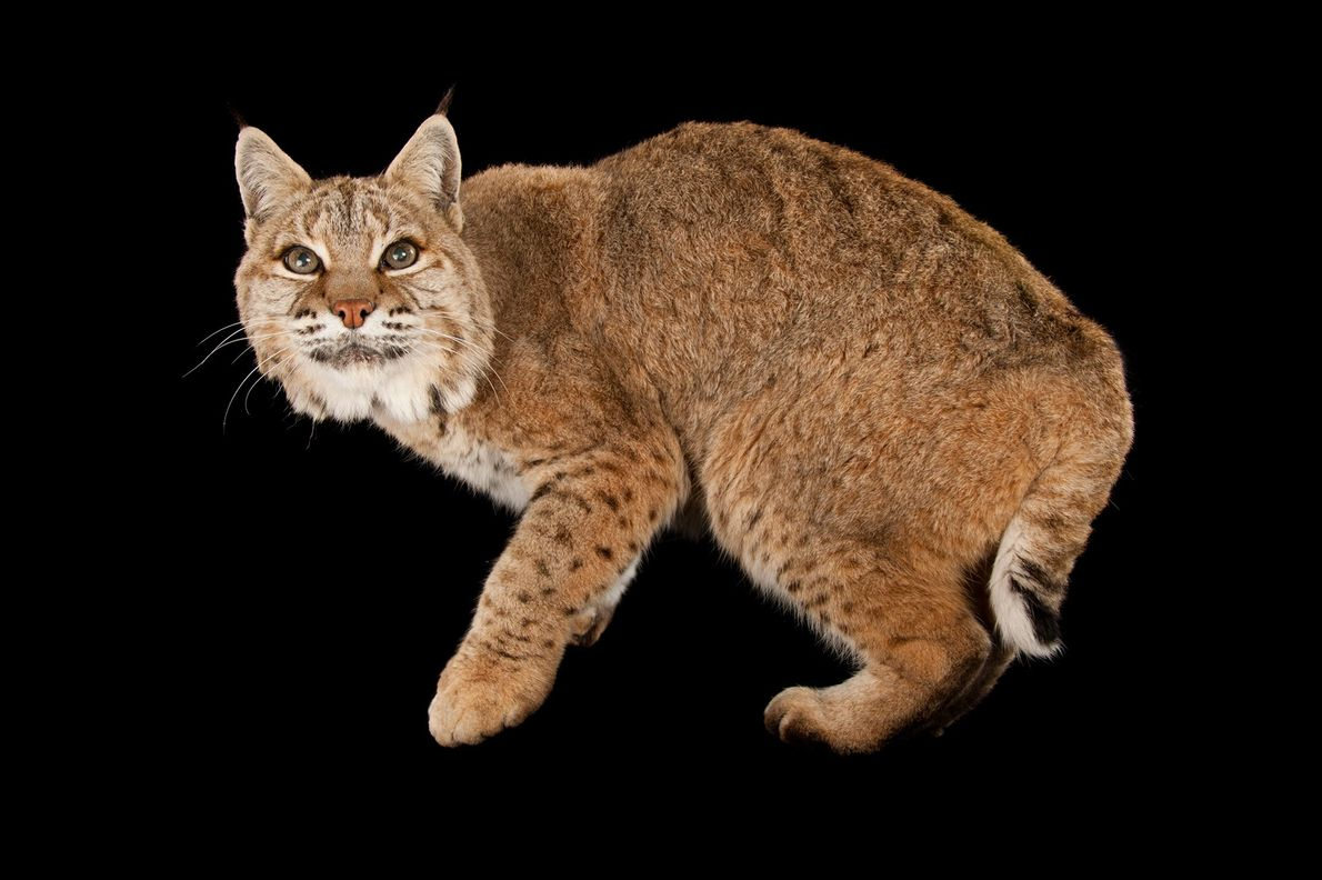 The bobcat, Lynx rufus, is named for its bobbed tail. It's the most common wildcat in ...