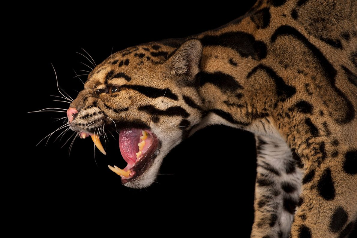 The clouded leopard, Neofelis nebulosa, an endangered species, roams the hunting grounds of Asia.