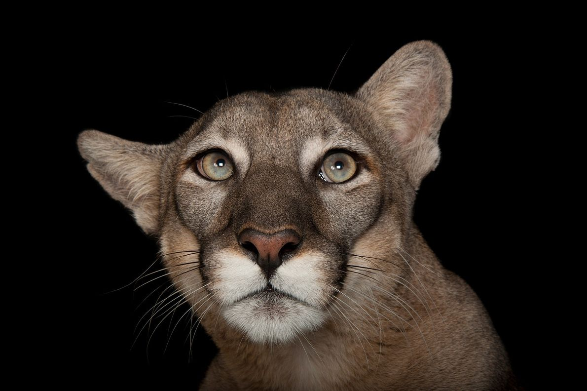 The endangered Florida panther, Puma concolor coryi, is recognized as Florida's official state animal but it ...