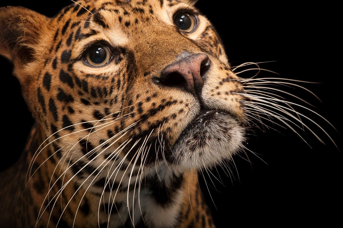 This endangered African leopard, Panthera pardus pardus, lives at the Houston Zoo.
