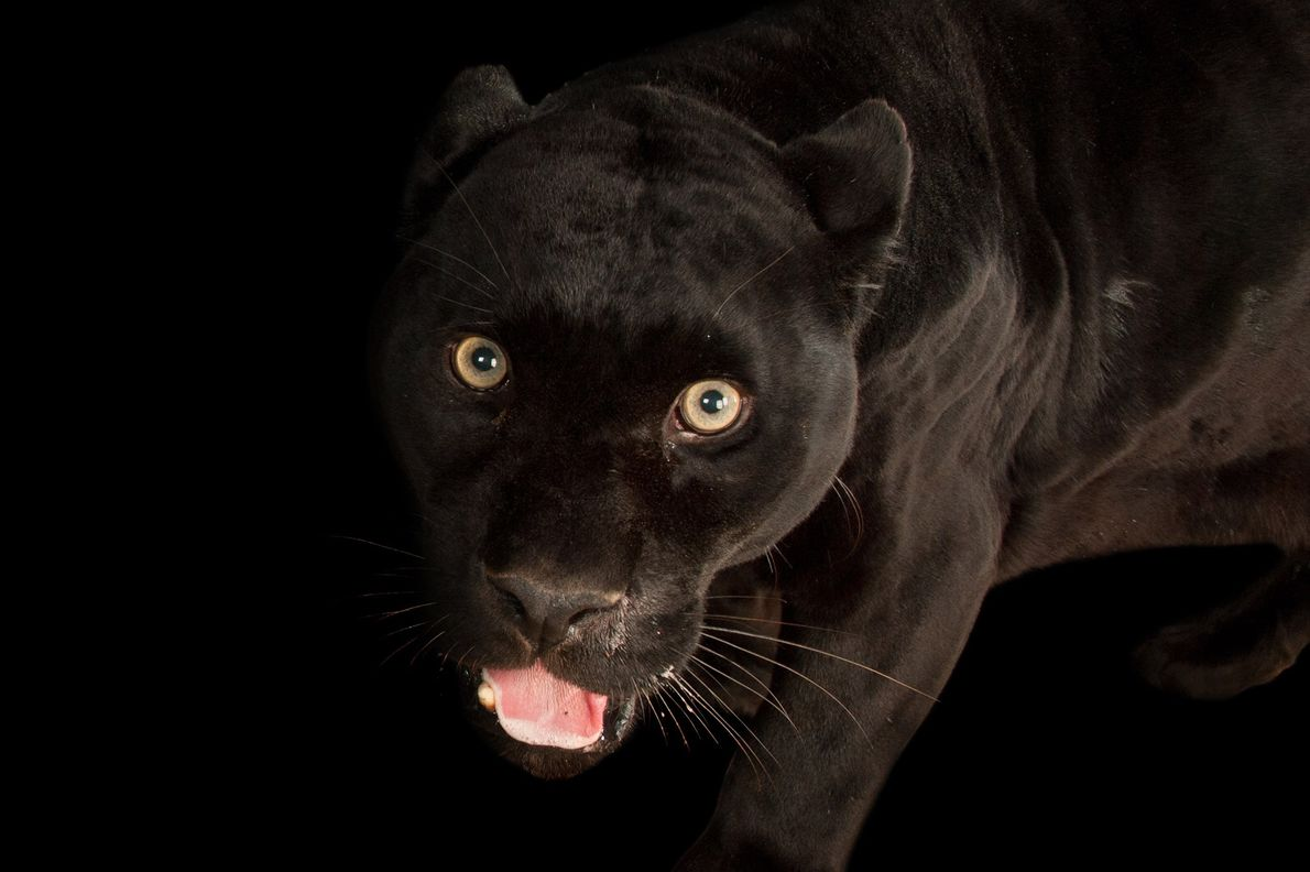 The black jaguar, Panthera onca, lives in South America.