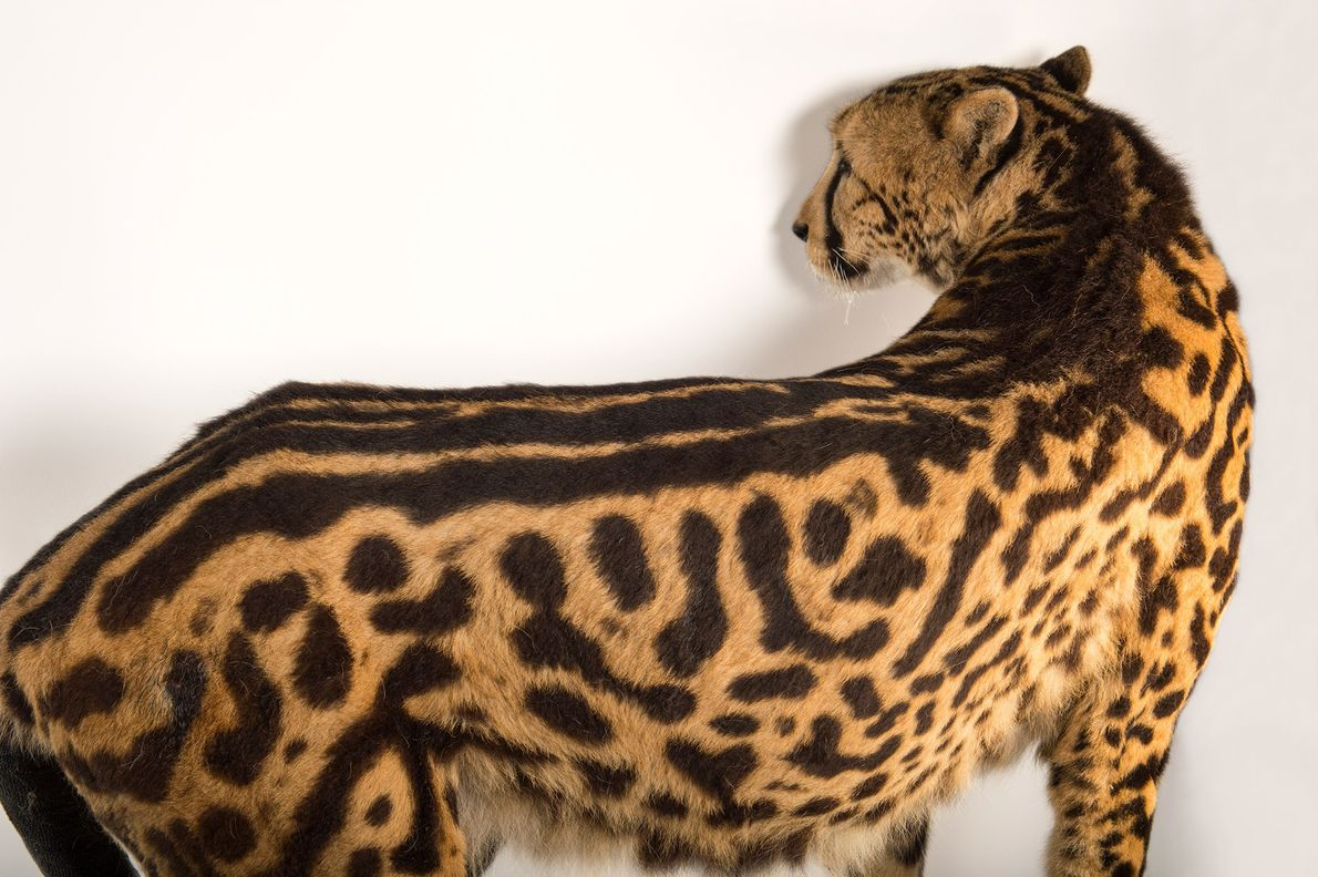 A male Southern Africa King cheetah, Acinonyx jubatus jubatus, named George at Zoo Miami. This cheetah ...