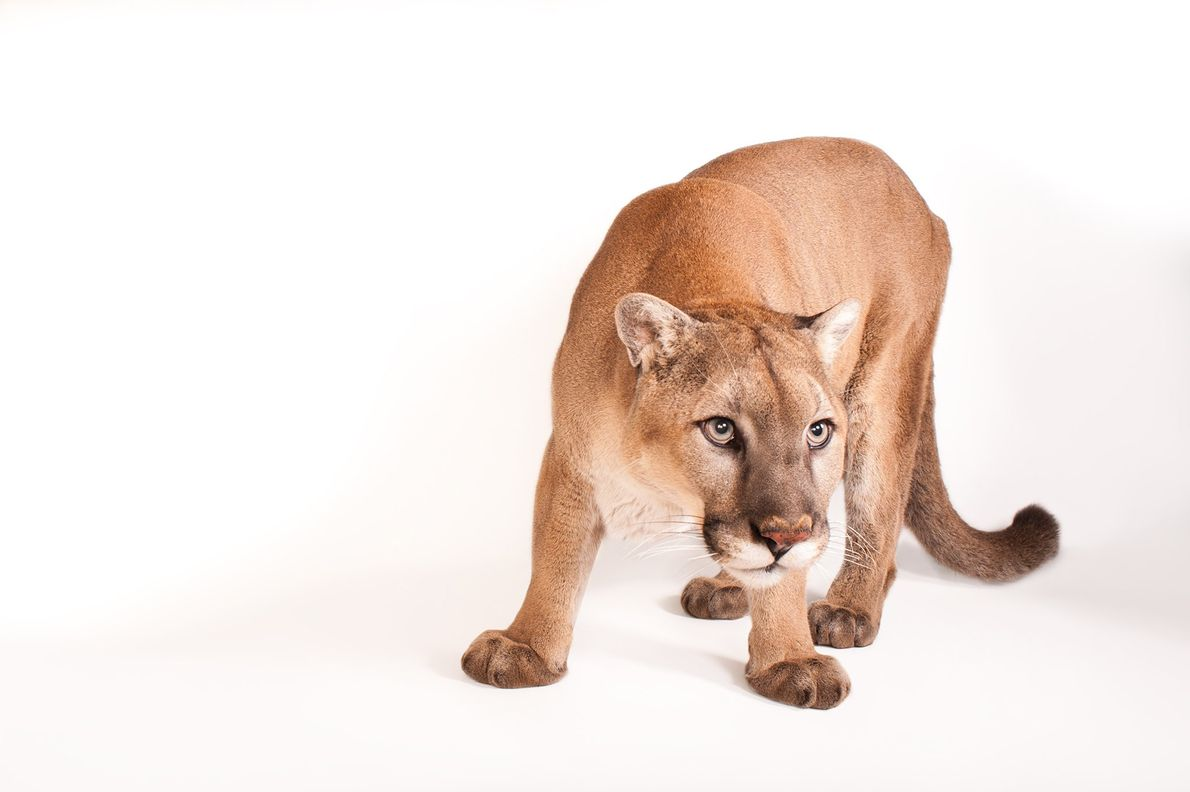 A cougar, Felis councillor, at the Rolling Hills Zoo. Cougars have many names, among them mountain ...