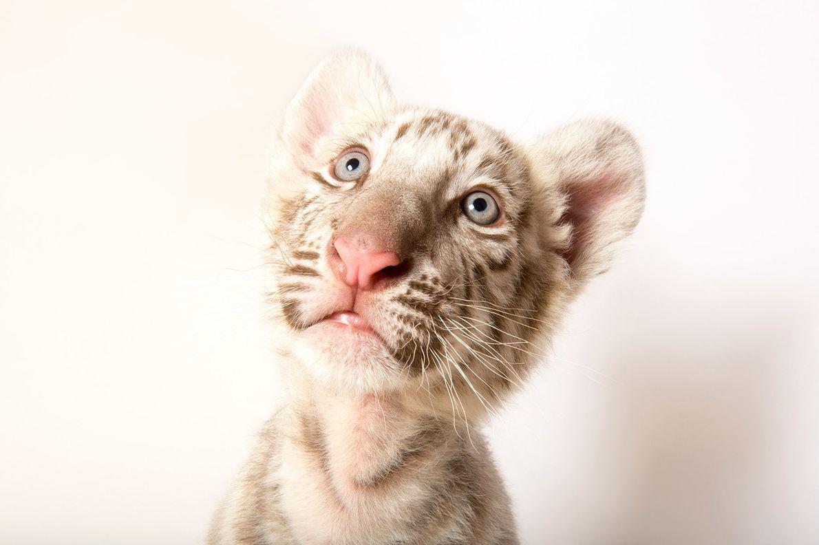 This is an 8 ½-week-old endangered royal white phase Bengal tiger, Panthera tigris tigris, at Alabama ...