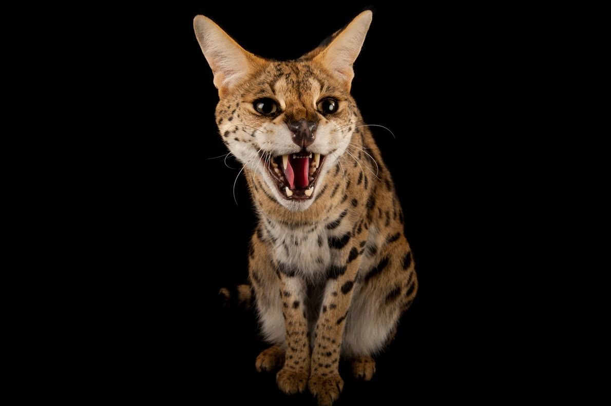 This serval, Leptailurus serval, is named Kenya. Servals can leap 5 feet (1.5 metres) in the ...