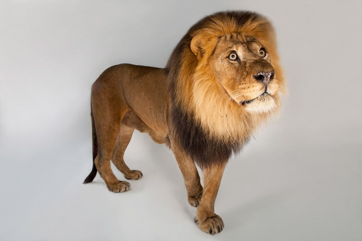 A male African lion.