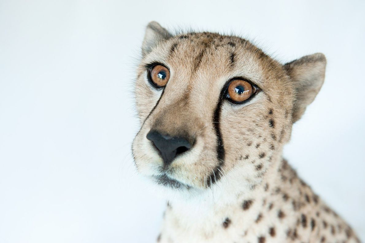 Hasari is a three-year-old cheetah, Acinonyx jubatus. Given the chance, cheetahs can accelerate to over 60 ...