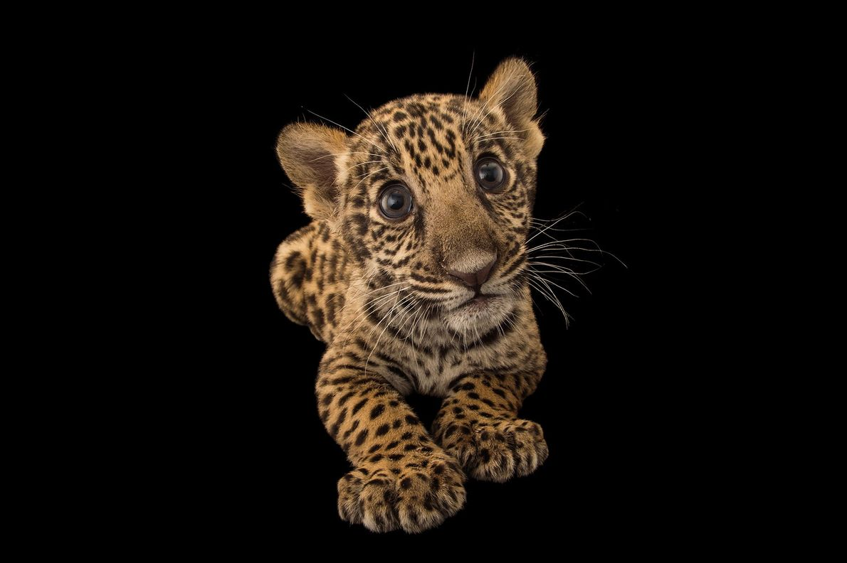 This two-month-old endangered jaguar cub, Panthera onca, lives at the Parque Zoologico Nacional in Santo Domingo, ...