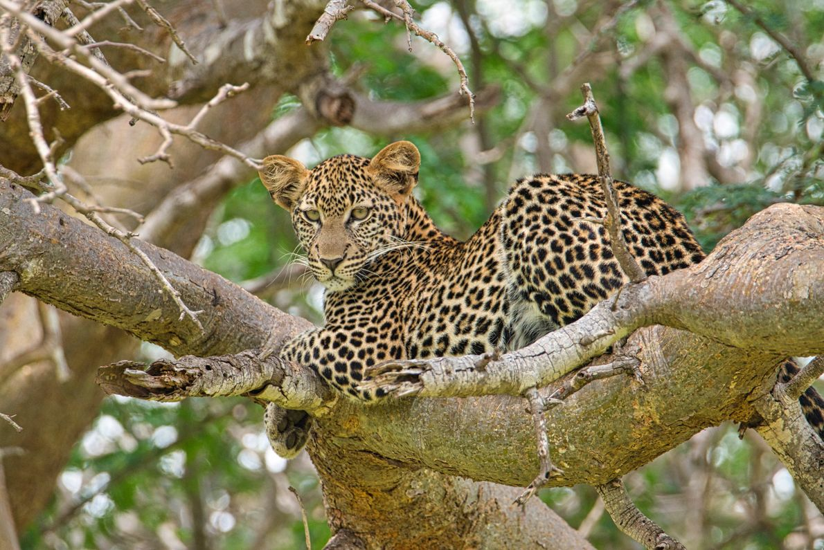 While Tsavo East and West are less popular than the Maasai Mara and Amboseli due to ...