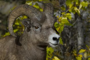 Bighorn sheep stands alert, Jasper National Park.