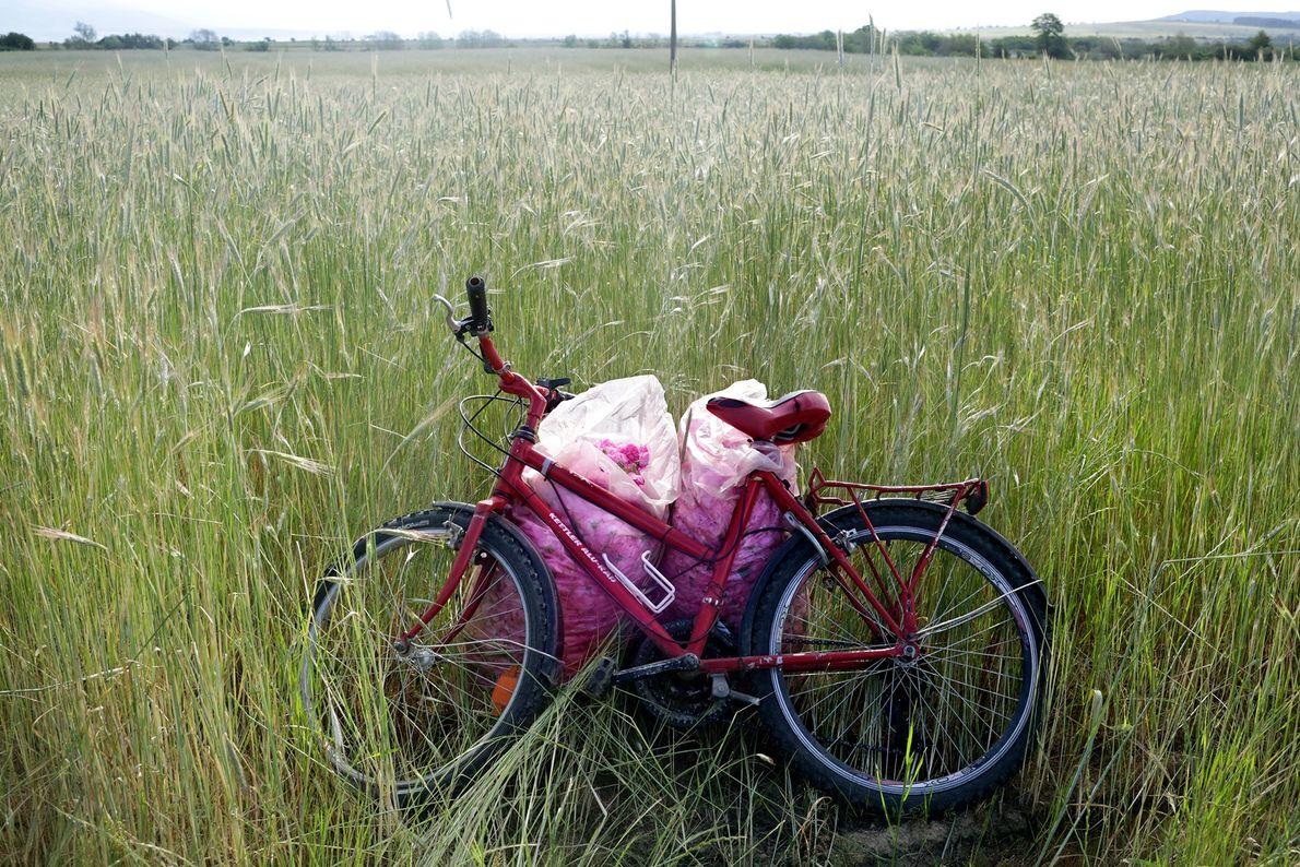 Silvia Yonkova parks her bike in her family's rose gardens in Osetenovo.
