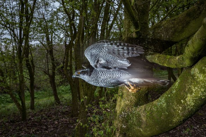 Ellie, a northern goshawk owned by Lloyd and Rose Buck in England, tucks in her wings ...