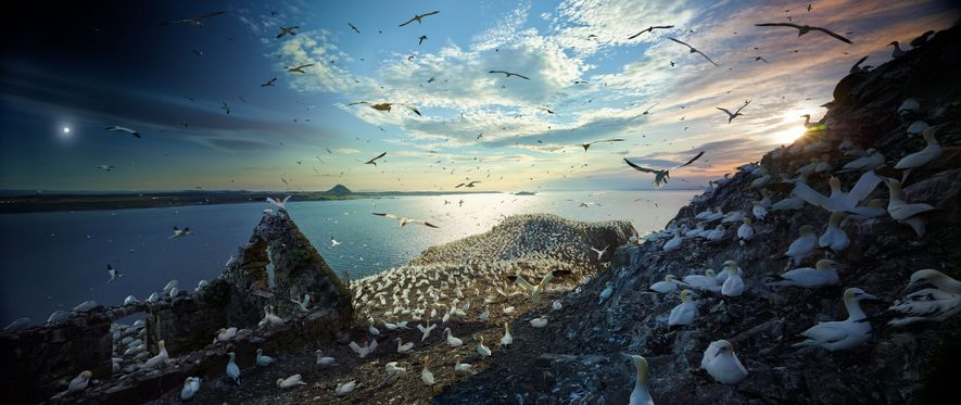 During breeding season, 150,000 gannets throng Scotland's Bass Rock island in the Firth of Forth. In ...