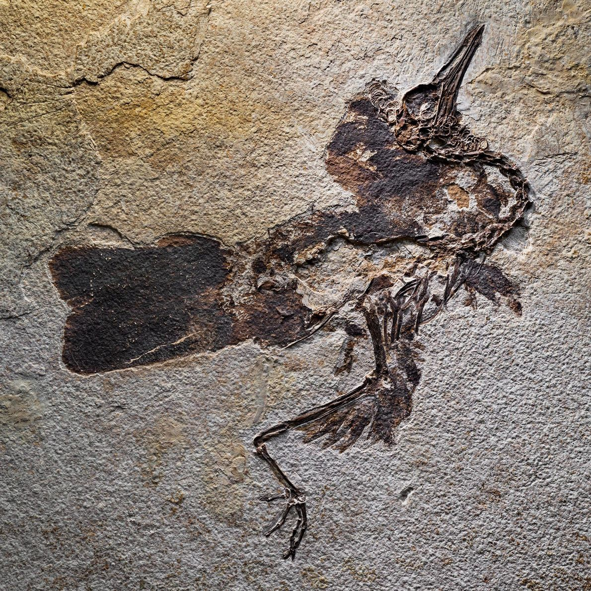 More than a hundred complete bird fossils, such as this flightless wading bird (family Salmilidae), have ...