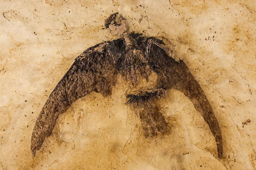 Ghostly feathers of an early swift are preserved on a 48-million-year-old fossil found in Germany. Swifts ...